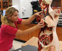 A student examines the inside parts of a human body model.